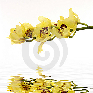 Orchid Royalty Free Stock Photos - Image: 8400868