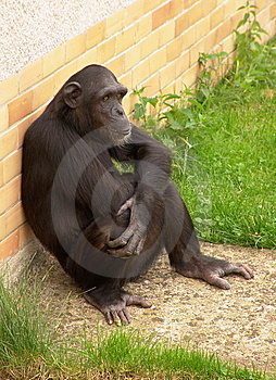 Bored Chimpanzee Stock Photography - Image: 8400912