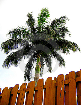 Royal Palm_2 Royalty Free Stock Images - Image: 8402899