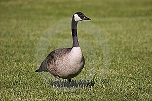 Goose Walking Stock Photo - Image: 8402940