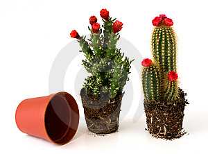 Potted Cacti With Flowers Stock Image - Image: 8403541