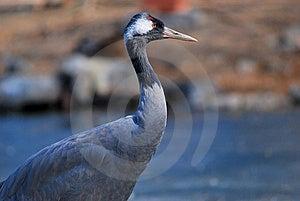 Gray Crane Stock Image - Image: 8404111