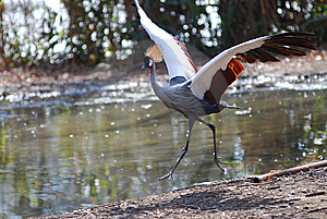 African Crowned Crane Royalty Free Stock Image - Image: 8404136