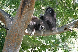 White-Handed Gibbons Royalty Free Stock Images - Image: 8405519