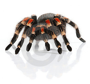 Mexican Redknee Tarantula Royalty Free Stock Images - Image: 8405799