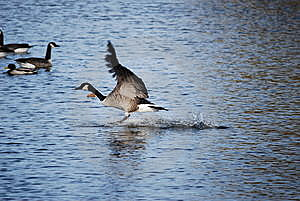 Goose Landing Stock Photos - Image: 8406003