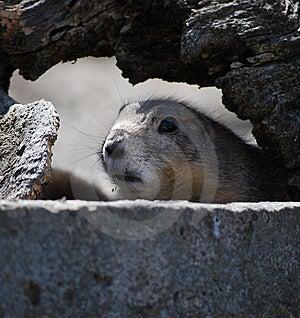 Prairie Dog Royalty Free Stock Image - Image: 8406206