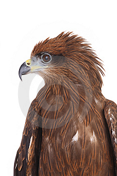 Eagle Stock Image - Image: 8407071