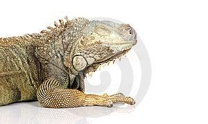 Iguana Royalty Free Stock Image - Image: 8407096