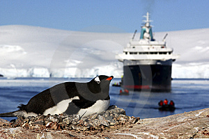 Gentoo Penguin Stock Photos - Image: 8407233