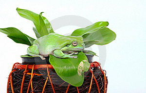 Green Tree Frog Royalty Free Stock Images - Image: 8407869