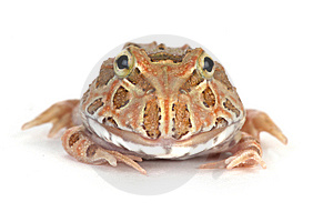 Frog Royalty Free Stock Photography - Image: 8408307