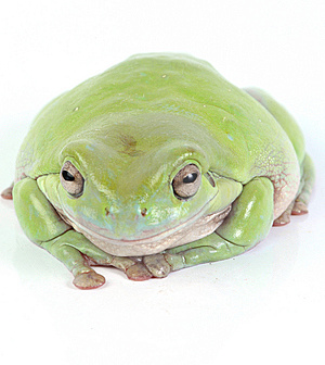 Green Treefrog Royalty Free Stock Image - Image: 8408926