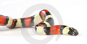 Pueblan Milk Snake Stock Photos - Image: 8408963