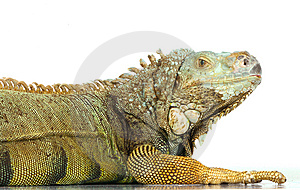 Iguana Royalty Free Stock Photography - Image: 8409067