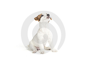 Cute Jack Russell Terrier Puppy Stock Photo - Image: 8409170