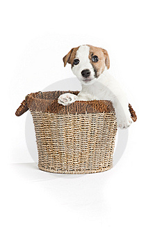 Cute Jack Russell Terrier Puppy Royalty Free Stock Images - Image: 8409189