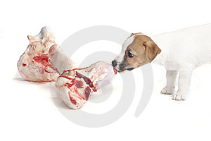 Cute Jack Russell Terrier Puppy Royalty Free Stock Images - Image: 8409219