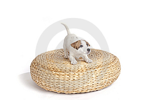Cute Jack Russell Terrier Puppy Royalty Free Stock Photo - Image: 8409245