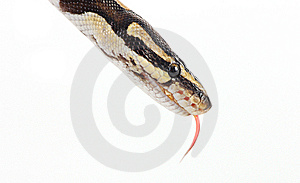Python Royalty Free Stock Photography - Image: 8409367