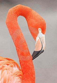 Flamingo Royalty Free Stock Photography - Image: 8409607