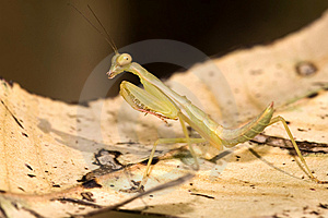 Mantis Royalty Free Stock Photography - Image: 8409637