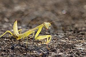 Mantis Stock Image - Image: 8409741