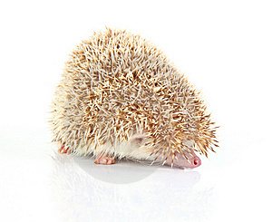 Hedghog Royalty Free Stock Photo - Image: 8409765