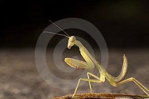 Mantis Stock Photos - Image: 8409803