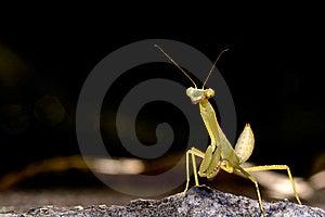 Mantis Stock Image - Image: 8409871