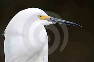 Snowy White Egret Royalty Free Stock Photography - Image: 8410177