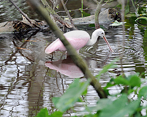 Spoonbill Fishing Royalty Free Stock Images - Image: 8410219
