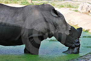 The Rhinoceros Royalty Free Stock Photography - Image: 8410277