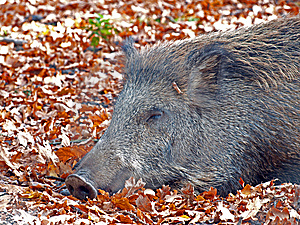 Boar Stock Images - Image: 8410494