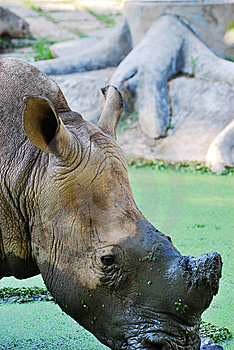 The Rhinoceros (close Up) Stock Photo - Image: 8410510