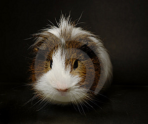Guinea-pig Royalty Free Stock Photography - Image: 8410727