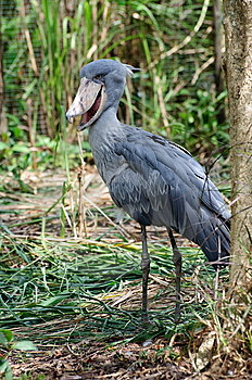 Shoebill Royalty Free Stock Photography - Image: 8410857