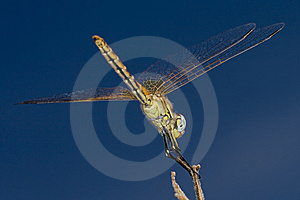 Dragonfly On A Stick Royalty Free Stock Images - Image: 8410919