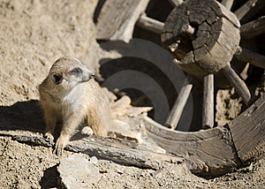 Meerkat Of The Old West Royalty Free Stock Photos - Image: 8410928