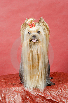 Yorkshire Terrier On Red Background Royalty Free Stock Images - Image: 8411079