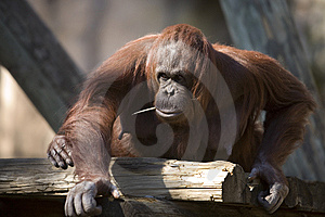 Chimp Approaching Royalty Free Stock Photos - Image: 8411278