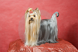 Yorkshire Terrier On Red Background Royalty Free Stock Images - Image: 8411419