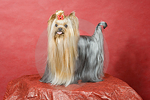 Yorkshire Terrier On Red Background Royalty Free Stock Images - Image: 8411569