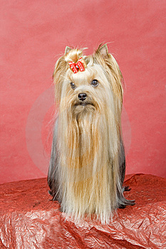Yorkshire Terrier On Red Background Royalty Free Stock Photo - Image: 8411675
