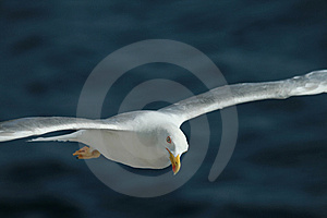 Seagull Stock Photo - Image: 8411950