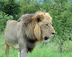 African Lion Royalty Free Stock Images - Image: 8412909