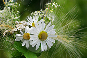 Camomile Royalty Free Stock Images - Image: 8413069