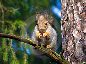 Red Squirrel Royalty Free Stock Photos - Image: 8413088