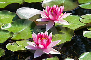 Pink Water Lily (lotus) Stock Photography - Image: 8414602