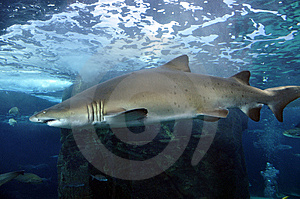 Shark Stock Photography - Image: 8417522